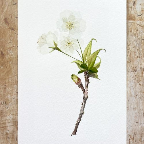 How to paint white cherry blossom