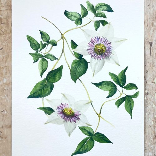 watercolour painting clematis